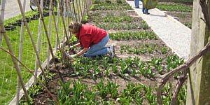 planting-sweet-peas